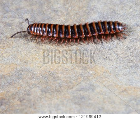 Bright orange with black striped centipede on a rock