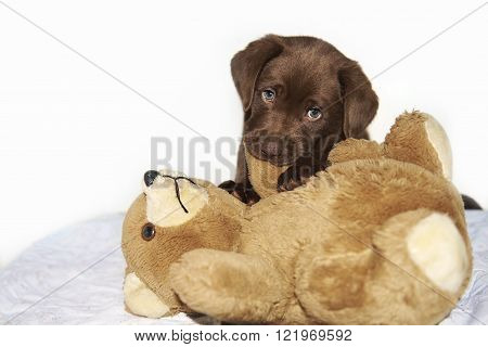 Brown labrador Puppy chewing brown teddy bear