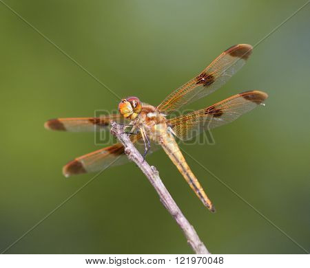 Orange dragonfly waiting on a stick for a bug to eat