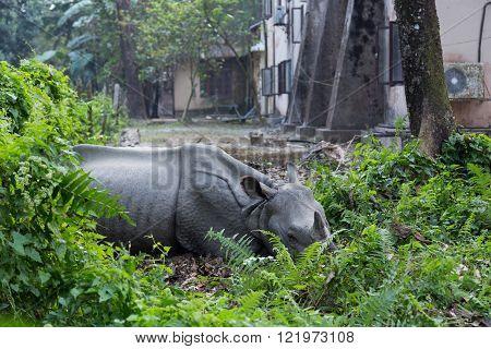 Rhino lying in a village garden, Chitwan National Park, Nepal