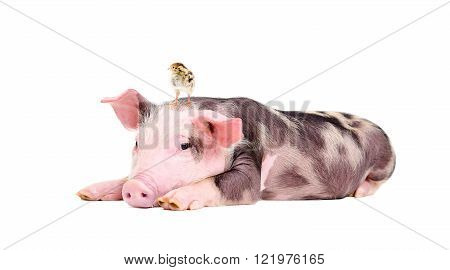 Cute little pig with a quail on her head isolated on white background