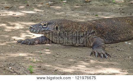real dragons in their natural habitat on the island of Komodo