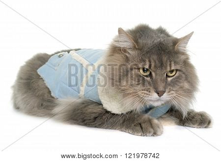 dressed maine coon cat in front of white background