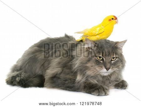 kakariki and maine coon cat in front of white background
