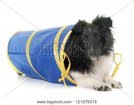 puppy shetland sheepdog in agility in front of white background