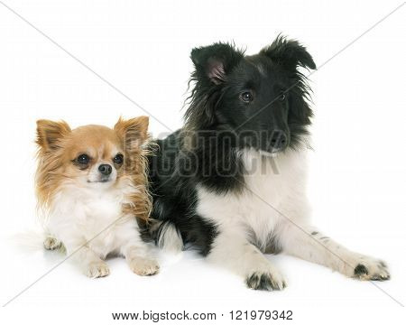 puppy shetland sheepdog and chihuahua in front of white background