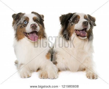 brown australian shepherds in front of white background