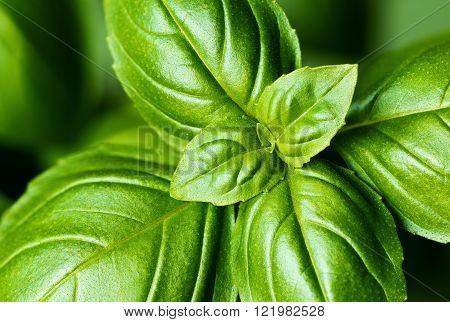 A closeup of fresh basil leaves in a garden