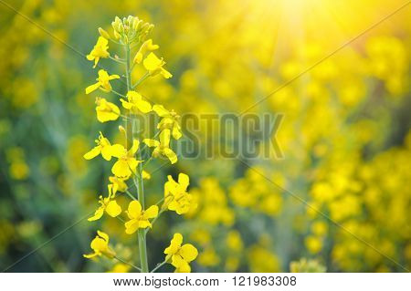 Close-up Of Canola Or Rapeseed Blossom (brassica Napus)