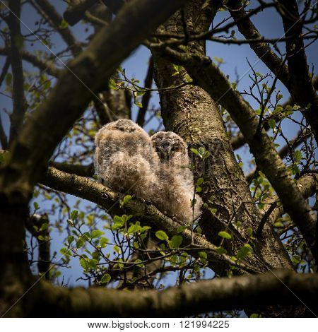 Pair of wild tawny owlets branching (Strix aluco)