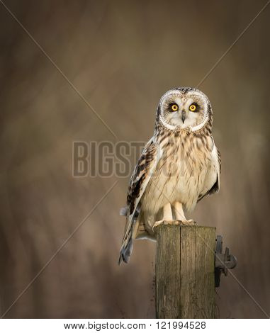 Wild Short eared owl sitting on fence post and looking into the picture (Asio flammeus)