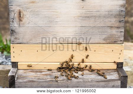Worker honey bees bring in the first pollen of the year. The entrance of a beehive gets busy with the first flush of red maple pollen. Hive has bottom board entrance reducer slatted board and deep.