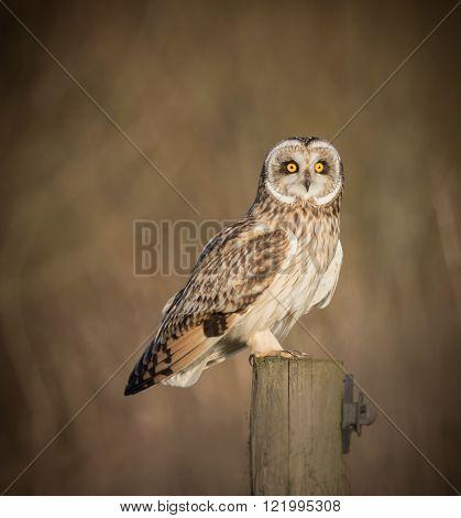 Wild Short eared owl sitting on fence post sitting sideways but staring forwards (Asio flammeus)
