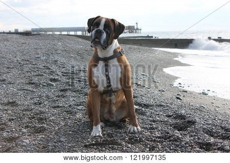 Dog boxer waiting for its owners by the see