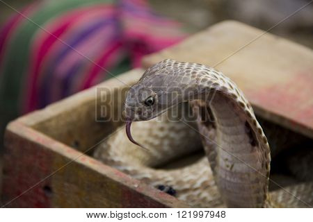 Cobra snake is ready to attack position showing its tongue and fangs ** Note: Soft Focus at 100%, best at smaller sizes