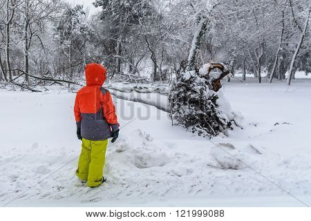 Broke Down Tree On The Severity Of Fallen Snow. Child Looking Over The Root Of A Fallen Tree In The