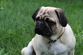 Inquistitive look from a purebred pug poster