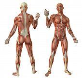 Постер, плакат: Анатомия человека мышцы