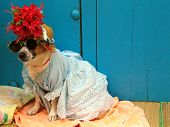 foto of dog clothes  - funny dog wearing clothes and hat  - JPG