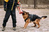 German Shepherd Dog training. Biting dog. poster