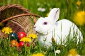 image of easter bunnies  - Easter bunny on a beautiful spring meadow with dandelions in front of a basket with Easter eggs - JPG