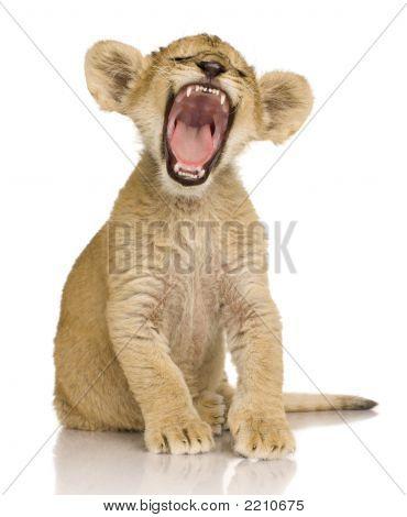 Lion Cub (3 maanden)
