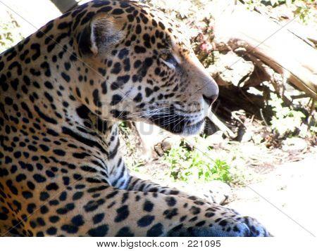 Upclose Jaguar