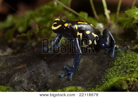frog with bright yellow colors, a dart frog from amazon rain forest kept as an exotic pet in a terrarium. Poisonous tropical jungle animal lives in Brazil and guyana poison frog dendrobates tinctorius
