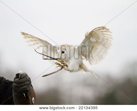 Barn Owl Landing on Gauntlet