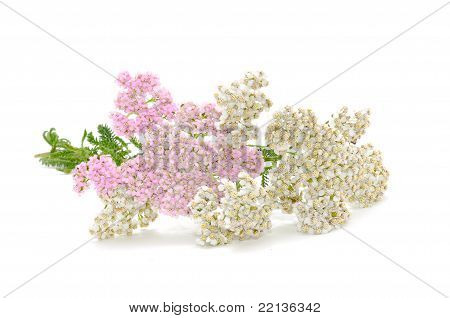 Yarrow (Achillea) Flowers
