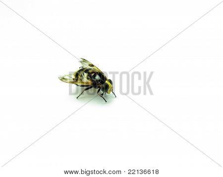 Beautiful And Bright Wasp On A White Background
