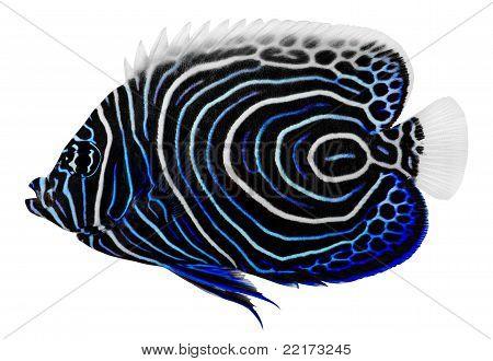 Emperor Angelfish. Pomacanthus Imperator
