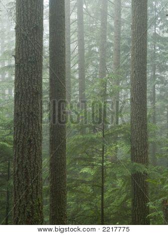 Wolke In einer alten Waldbestands