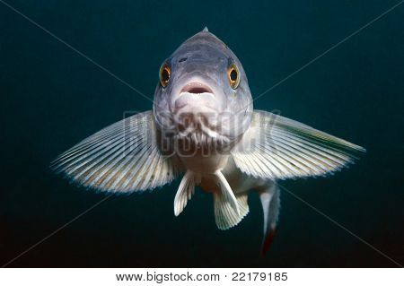 Portrait Of Greenling In Sea Of Japan