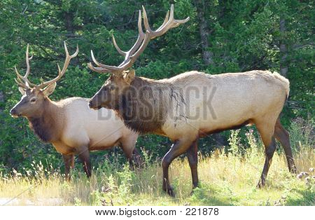 Two Bull Elk And Antlers