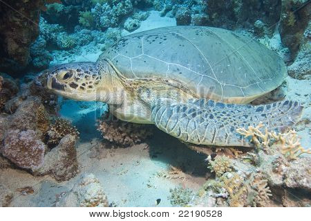 Large Green Sea Turtle On The Seabed