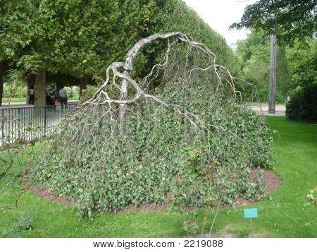 Árbol tímido