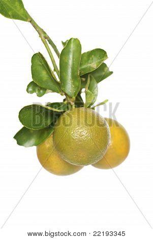 Ripening Calamansi Limes
