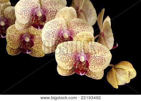 A Sprig of Blooming Moth Orchids