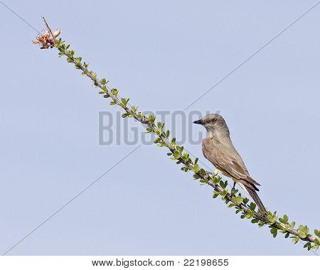 Western Kingbird 388h