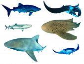 Sharks and Manta Rays isolated. Whale Shark, Oceanic Manta, Whitetip Reef, Leopard and Bull Sharks o poster