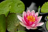 pic of water lilies  - Lily Pads and Water Lily with droplets - JPG