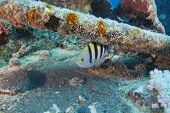 pic of sergeant major  - Red Sea sergeant major fish on a shipwreck - JPG