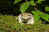 Bufo viridis. Green toad on nature background.