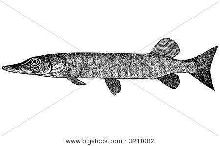 Fish Esox Incius Illustration