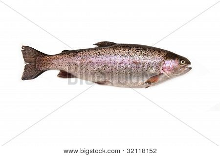 Rainbow trout fish