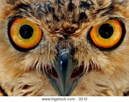 Owls Eyes