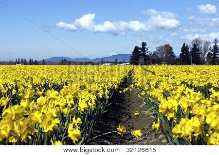A field of narcissus