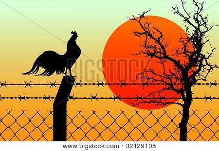 Rooster on wired fence