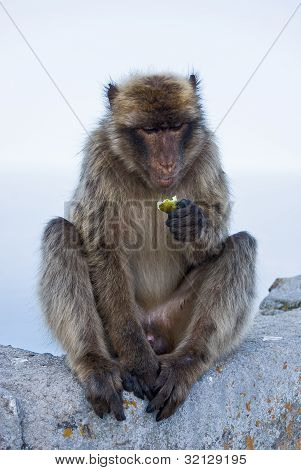 The Gibraltar Monkey